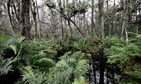 Cypress Wetlands: winter 2587