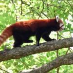 Red Panda  Prints & Posters