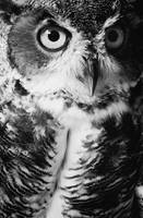 Green Eyed Owl BW
