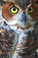 Surroundings - Green Eyed Owl