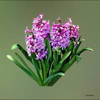 Group of Pink Hyacinths