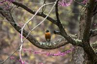 Robin In The Spring