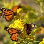 Monarchs Prints & Posters