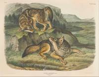 John James Audubon~Canis latrans, Say. Prairie Wol