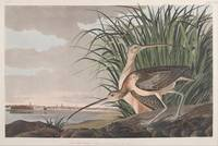 John James Audubon~Long-billed Curlew, Numenius lo