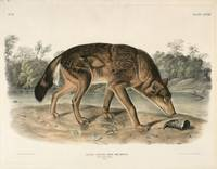 John Woodhouse Audubon~Red Texas Wolf (Canis Lupus