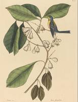 Mark Catesby~The Finch Creeper (Parus americanus)