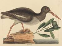 Mark Catesby~The Oyster-catcher (Hoematopus ostral