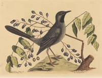 Mark Catesby~The Red Legged Thrush (Turdus plumbeu