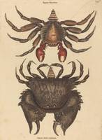 Mark Catesby~The Red Mottled Rock-crab (Cancer gra