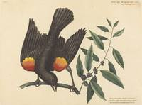 Mark Catesby~The Red Winged Starling (Oriolus phoe