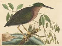 Mark Catesby~The Small Bittern (Ardea virescens)