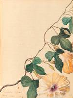 Nourse Family~Nourse Family Sketchbook, Bindweed