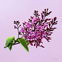 Lilacs Starting to Open