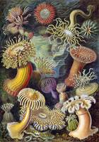 Ernst Haeckel~Illustration of Actiniae