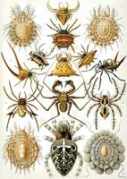 Ernst Haeckel~Illustration of Arachnida