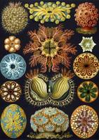 Ernst Haeckel~Illustration of Ascidiacea