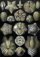 Ernst Haeckel~Illustration of Blastoidea