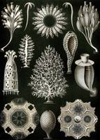 Ernst Haeckel~Illustration of Calcispongiae
