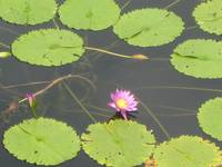 Flower and Lily Pads