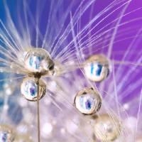Violet Dandelion Sparkles Art Prints & Posters by Sharon Johnstone