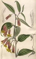 John Nugent Fitch~Disporum cantoniense var
