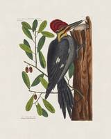 Mark Catesby~The Large Red-Crested Woodpecker and