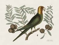Mark Catesby~The Parrot of Carolina and the Cypres