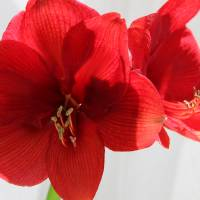 Mom's Red Amaryllis by Karen Adams