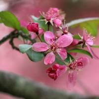 Pink Crabapple Blooms by Karen Adams