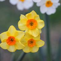 Daffodil Trio by Karen Adams