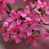 Crabapple Blossoms  by Karen Adams