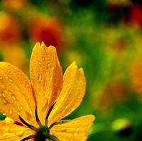 Orange sulfur cosmos after a light rain shower.