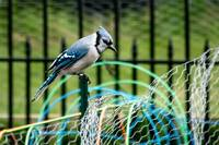 Blue Jay in Garden