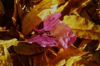 Bougainvillea on Leaves