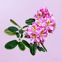 Pale Pink Rhododendron