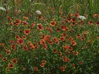 M0307377 HIGH Meadow Color in North Texas