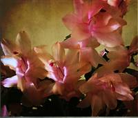Thanksgiving cactus with peach-colored blossom