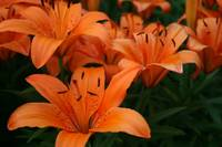 Orange Asiatic Lily 2020 II