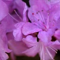 Rah Rah Rhododendron by Karen Adams