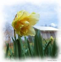 Country Daffodil