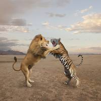 Lion-Tiger-Fighting Art Prints & Posters by John Lund