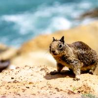 California Ground Squirrel Nature Beach Photograh Art Prints & Posters by Valerie Waters