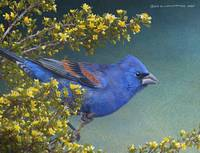 blue grosbeak and cliffrose