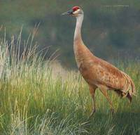 sandhill crane breeding plumage