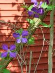 Clematis on Red Wall