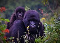 Mountain gorilla and baby
