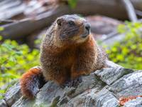 Yellow-Bellied Marmot by David Kocherhans