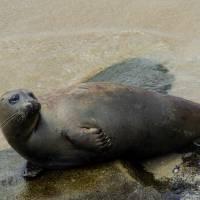 Seal Pacific Ocean Water La Jolla California Photo Art Prints & Posters by Valerie Waters