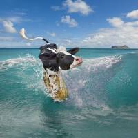 Surfing cow Art Prints & Posters by Stephanie Roeser